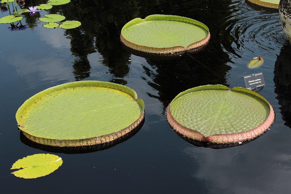 Lilly, Lillies, Botanical Gardens, Denver