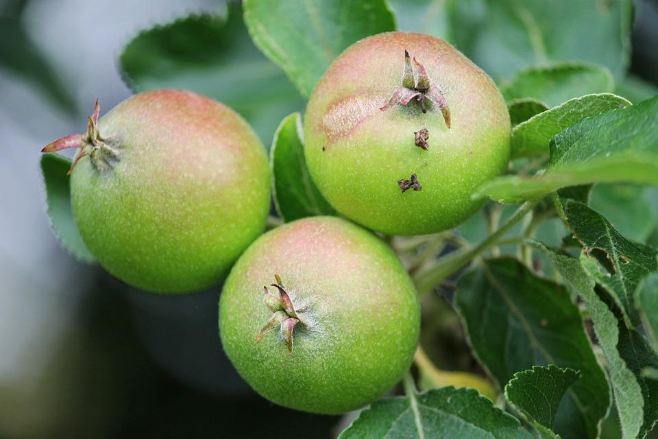 Apple, Apple Tree, Fruits, Green, Hanging, Depend