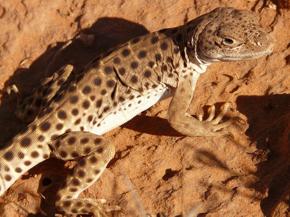 Desert, Animal, Lizard, Reptile, Wildlife, Fauna