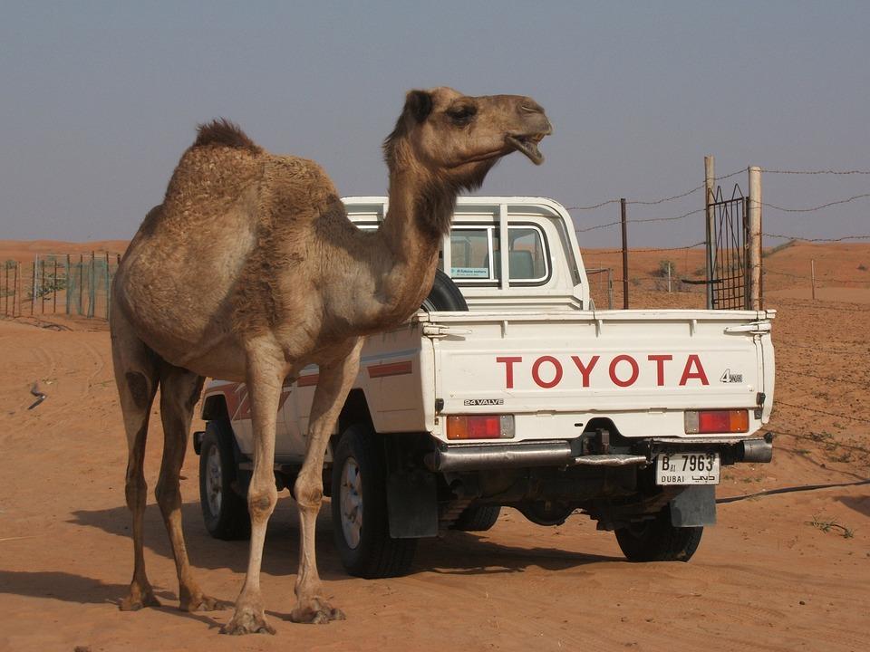 Camel, Toyota, Desert