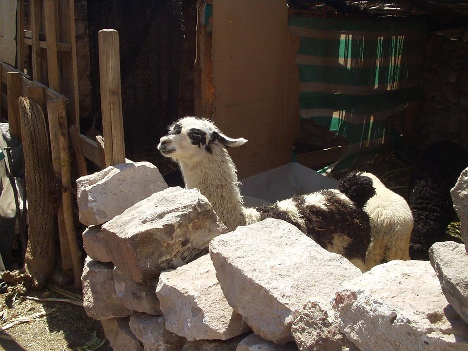 Lama, Animal, Livestock, Desert, Atacama Desert, Chile