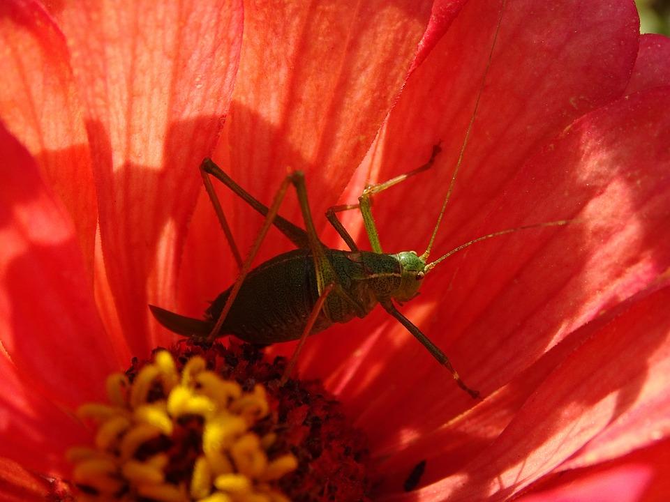Desert Locust, Gomphocerinae, Flower, Nature