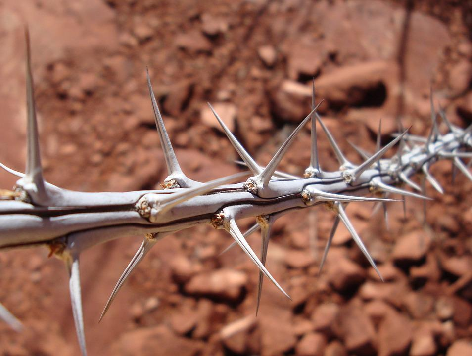 Thorns, Thorny, Sharp, Nature, Desert, Sedona, Spike