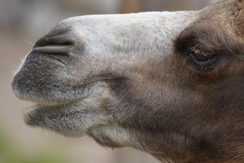 Camel, Desert Ship, Portrait