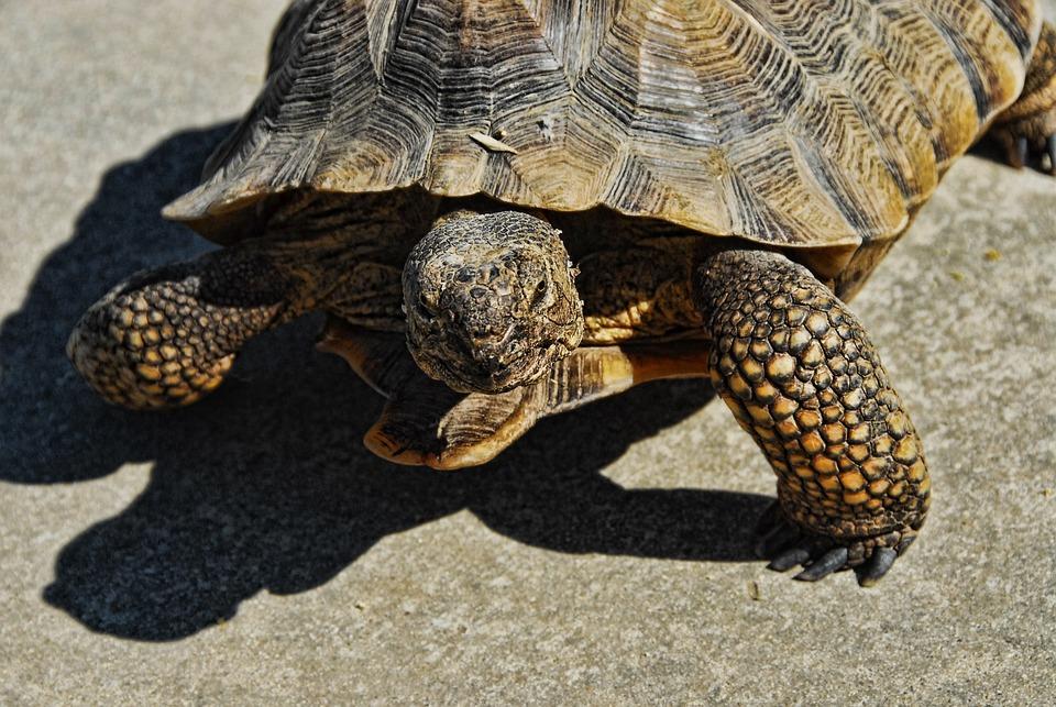 Free photo Desert Tortoise Rescue Tortoise 36 Inch - Max Pixel