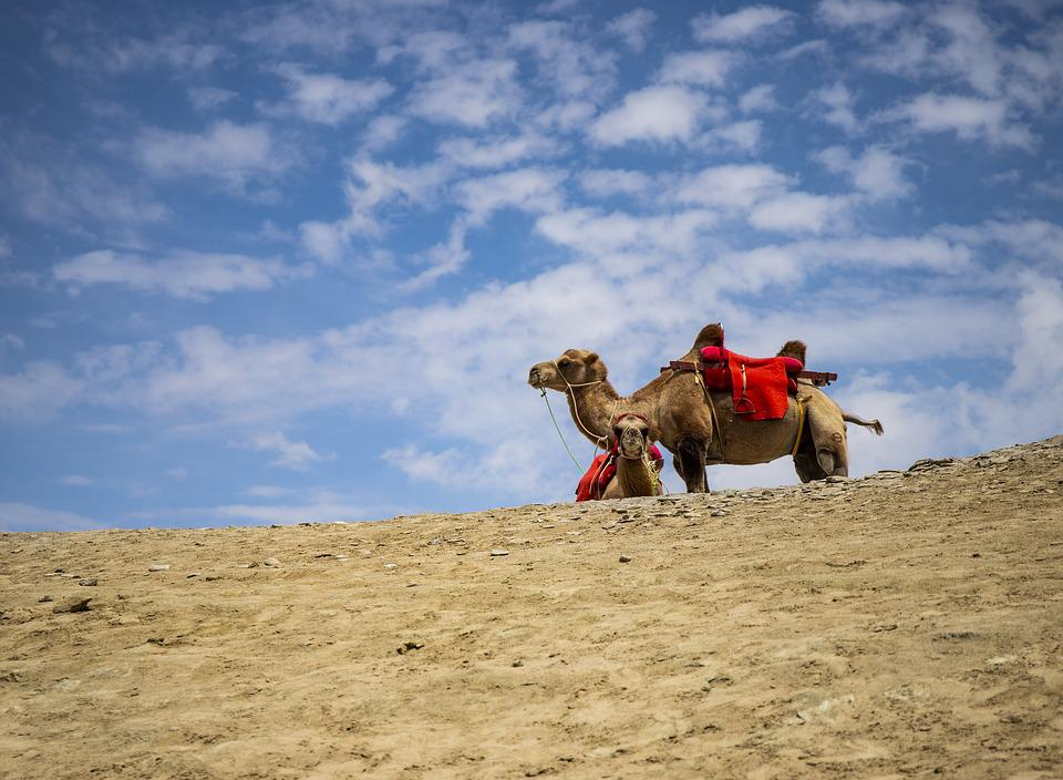 Camel, Desert, Sand, Landscape, Travel, Animal, Camels