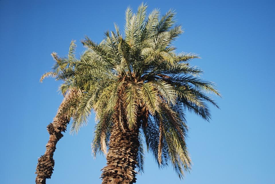 Palm, Tree, Plant, Desert, Palm Tree, Nature