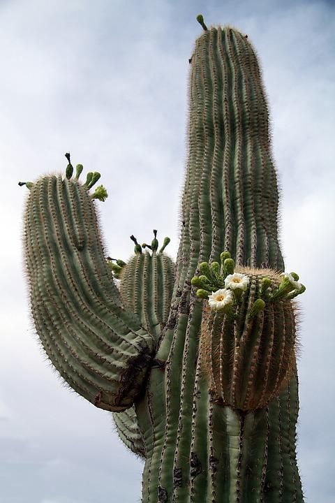 Usa, Arizona, Cactus, Desert