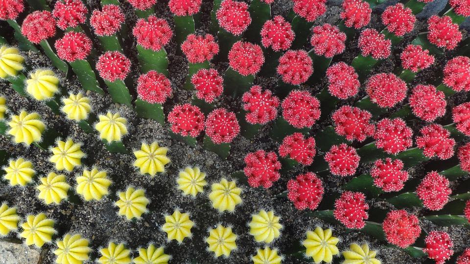 Cactus, Colorful, Garden, Desert, Red, Yellow