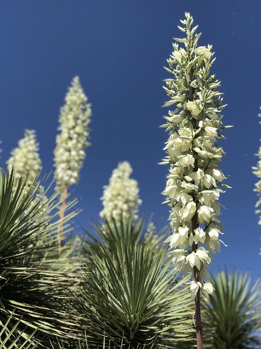 Yucca, Succulent, Desert
