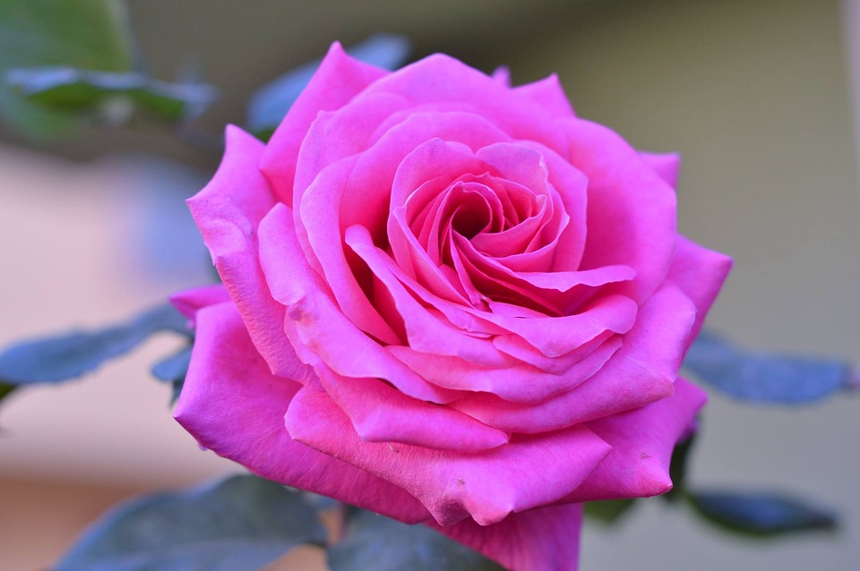 Rose Desire Pink Roses Flower Nature Beautiful