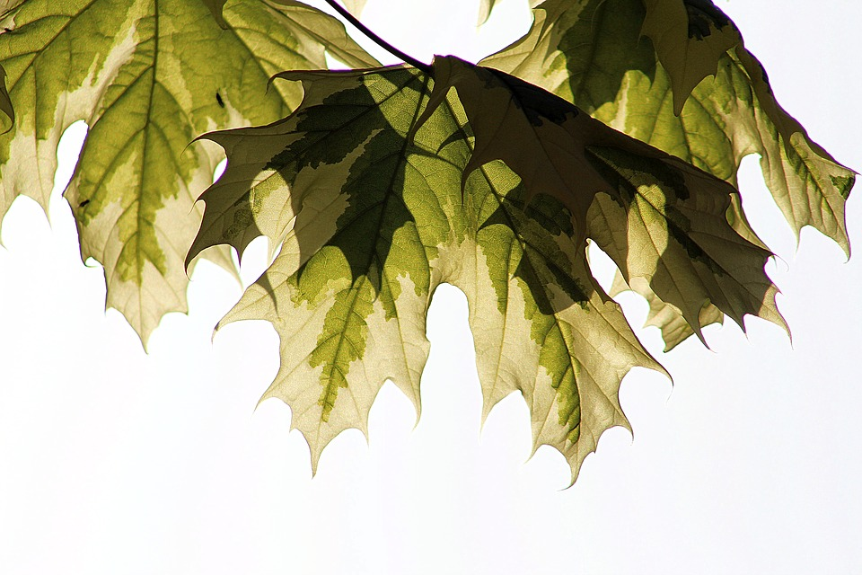 Leaf, Nature, Flora, Desktop, Disjunct, Tree