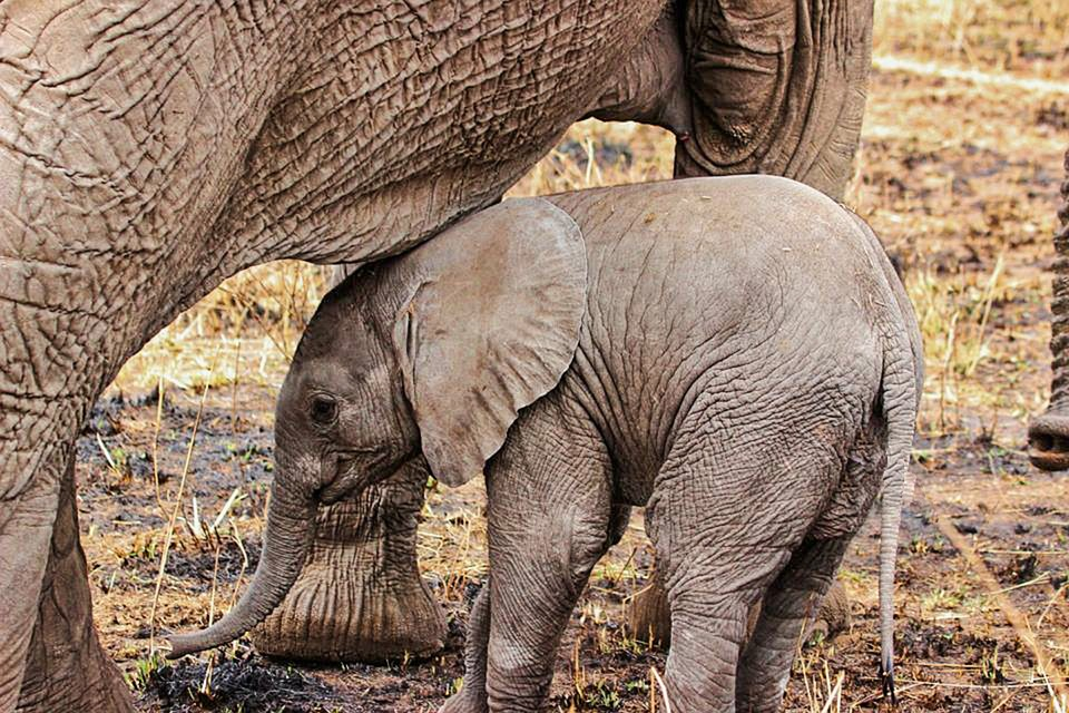 Elephant, Safari, Close-up, Animal, Big, Detail