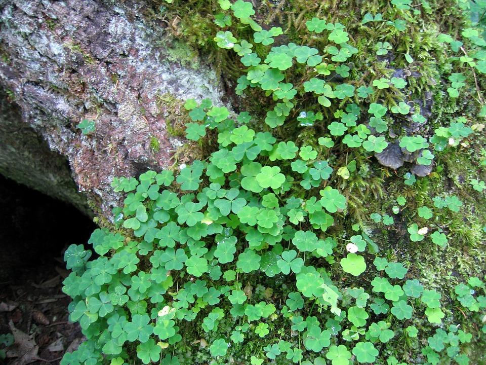Clover, Green, Nature, Field, Undergrowth, Detail