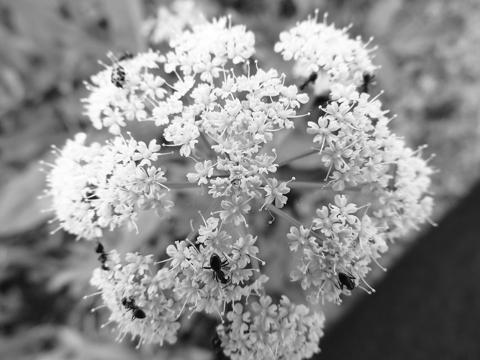 Flower, Summer, B W Photography, Detail, Ants, Insect