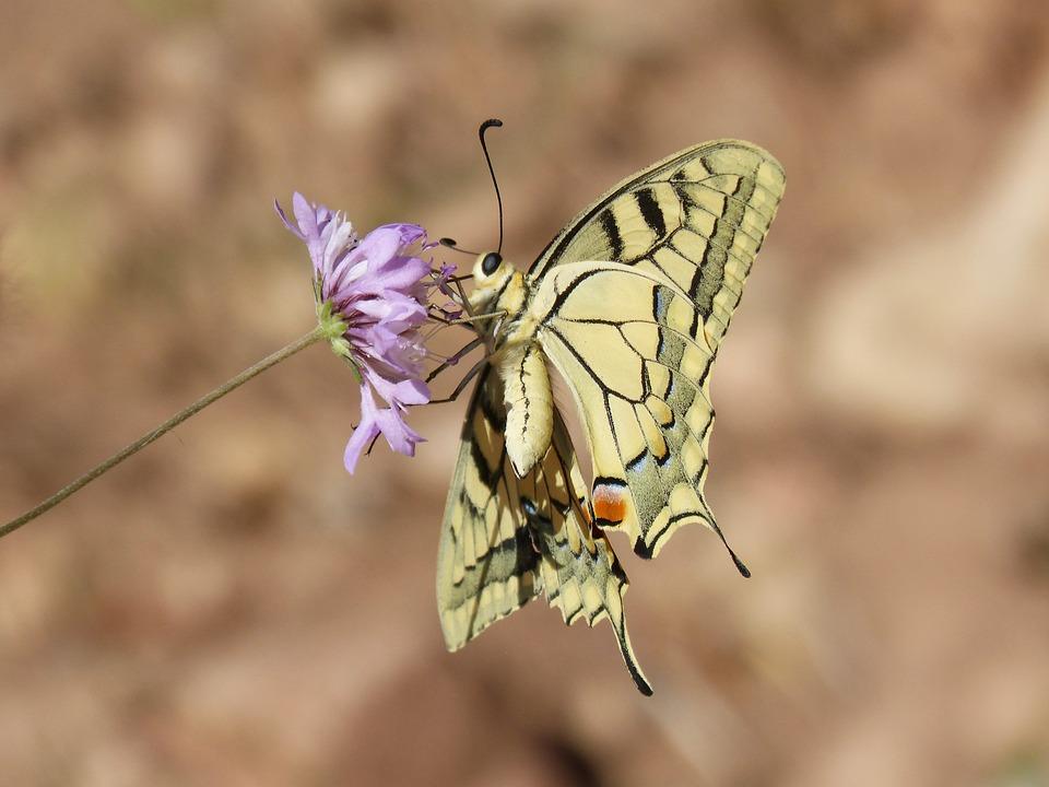 Machaon, Butterfly Queen, Papilio Machaon, Detail