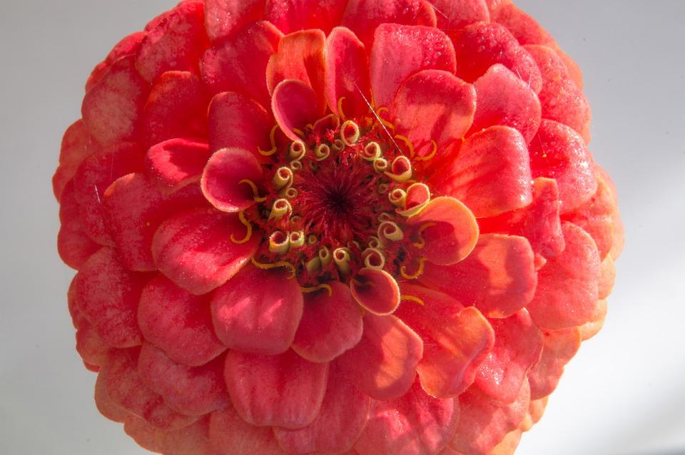 Red, Flower, Macro, Detail
