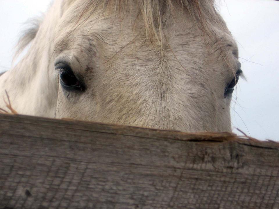 Horse, Mare, Stallion, Eyes, Detail, White