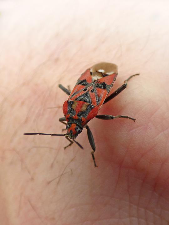 Insect  Beetle  Red And Black  Bug  Detail  Hand. Free photo Detail Red And Black Hand Bug Insect Beetle   Max Pixel