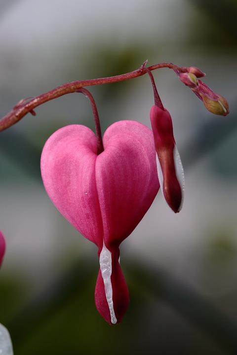 Flower, Heart, Detail, Spring, Bleeding