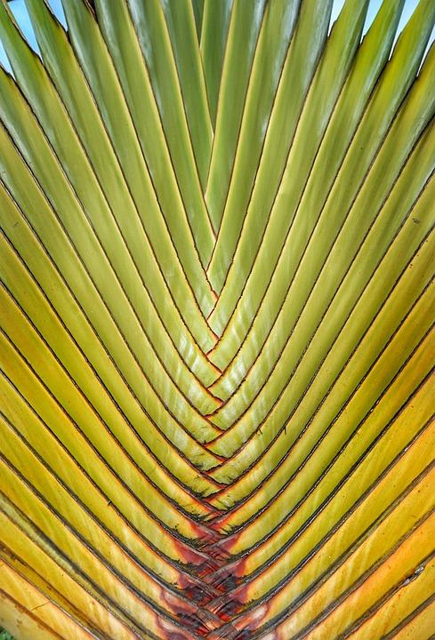 Traveler's Tree, Tropical, Palm, Detail, Pattern