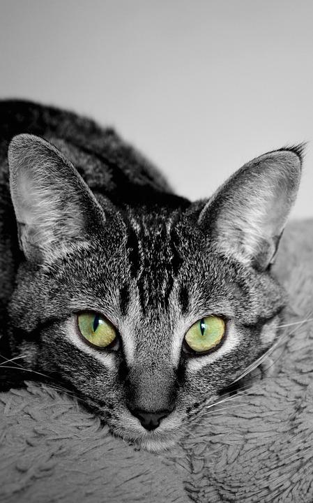 Cat, Devon Rex, Cross Breed, Fur, Ears, Devon, Rex, Pet