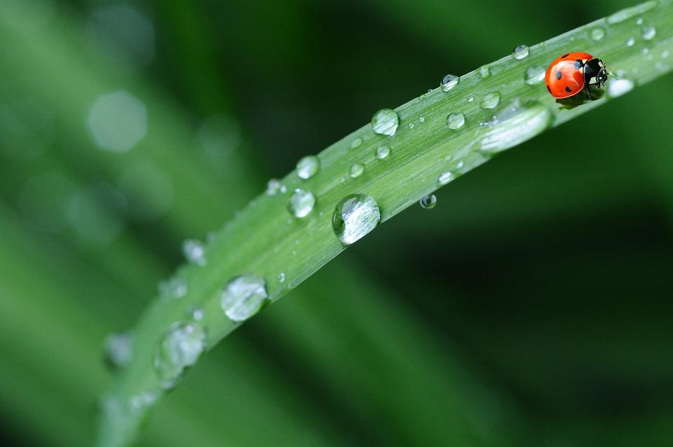 Ladybug, Drop Of Water, Rain, Leaf, Spring, Dew Drop