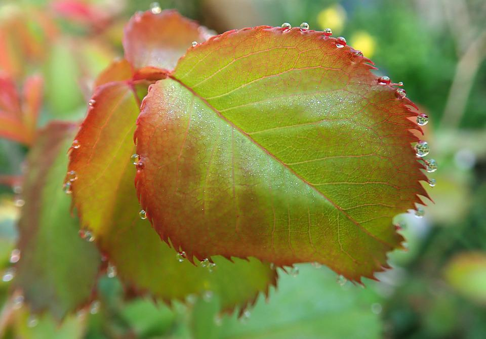 Leaves, Dew Drops, Water, New Growth, Spring, Garden
