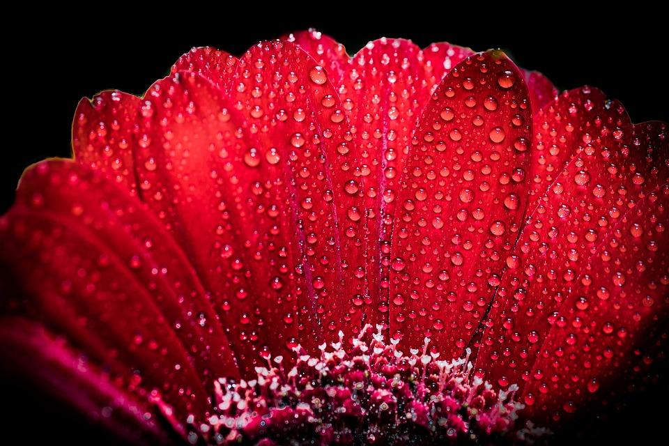 Red Gerbera, Dew Drops, Black Background, Petals, Drops