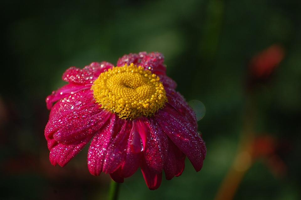 Morgentau, Blossom, Bloom, Close, Dewdrop, Flower, Dew