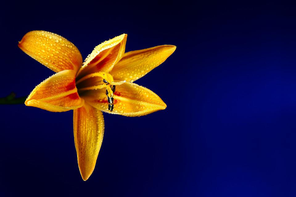 Lily, Flower, Dew, Dewdrops, Yellow Lily, Petals
