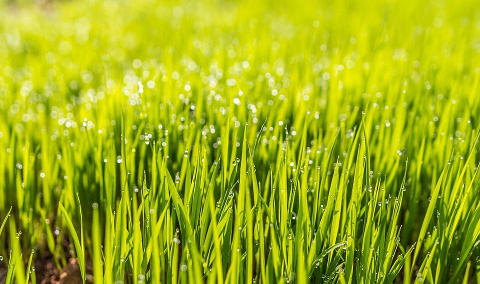 Dew, Field, Grass, Green, Hd Wallpaper, Lawn
