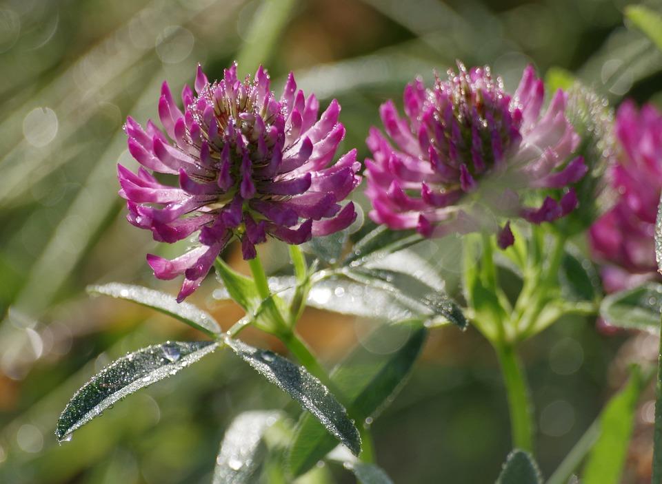 Klee, Grass, Meadow, Dew, Wild Flower, Plant