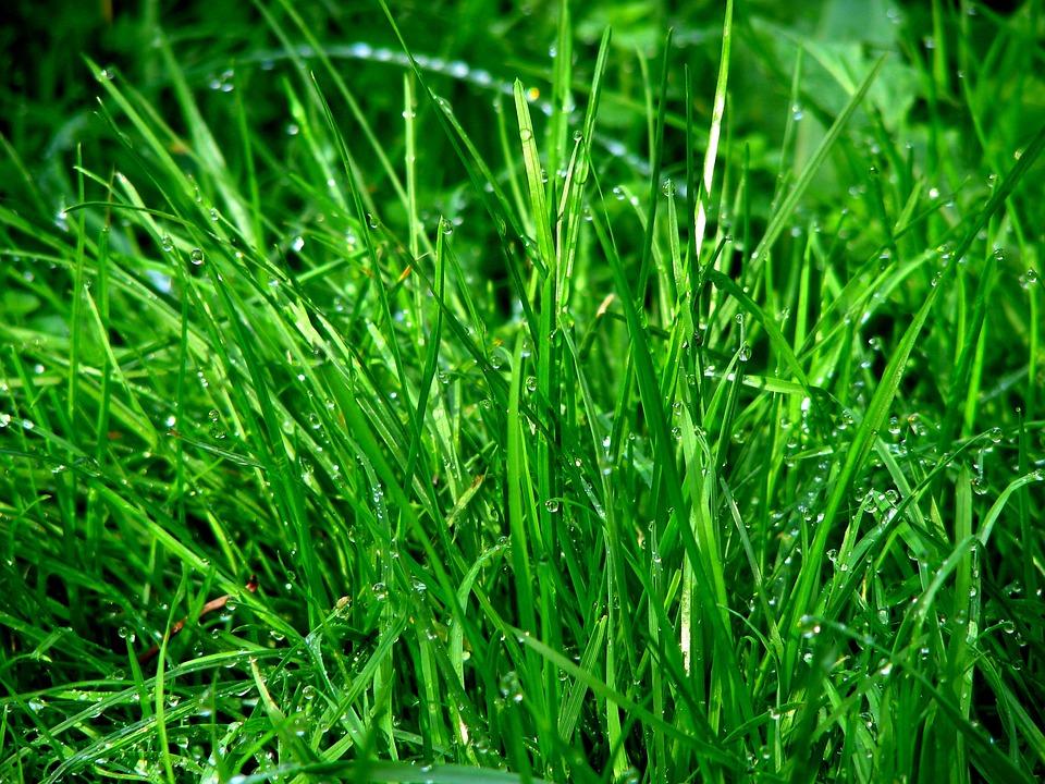 Rush, Grass, Dew, Meadow, Dewdrop, Drip, Water