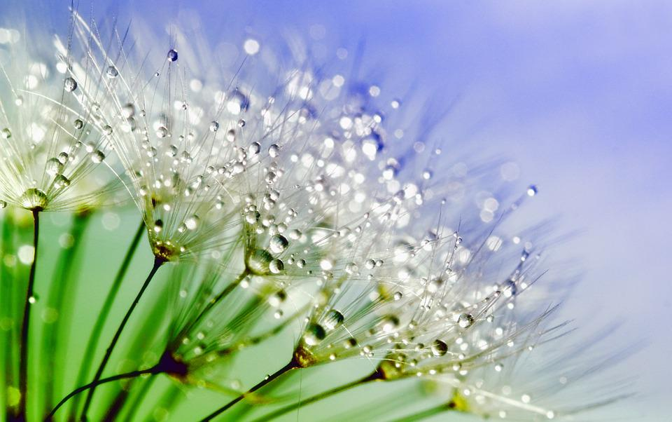 Dandelion, Dew, Nature, Flower, Plant, Macro, Water