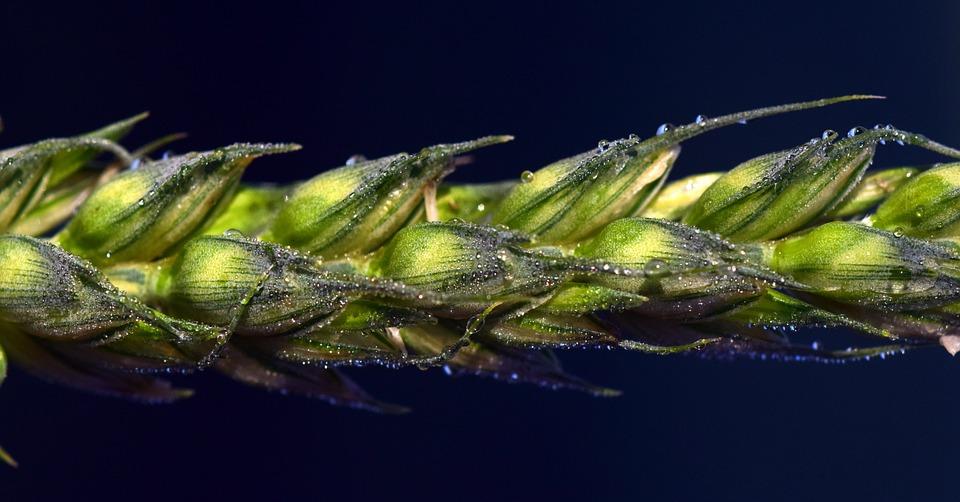 Wheat, Ear, Cereals, Grain, Green, Green Ear, Dew