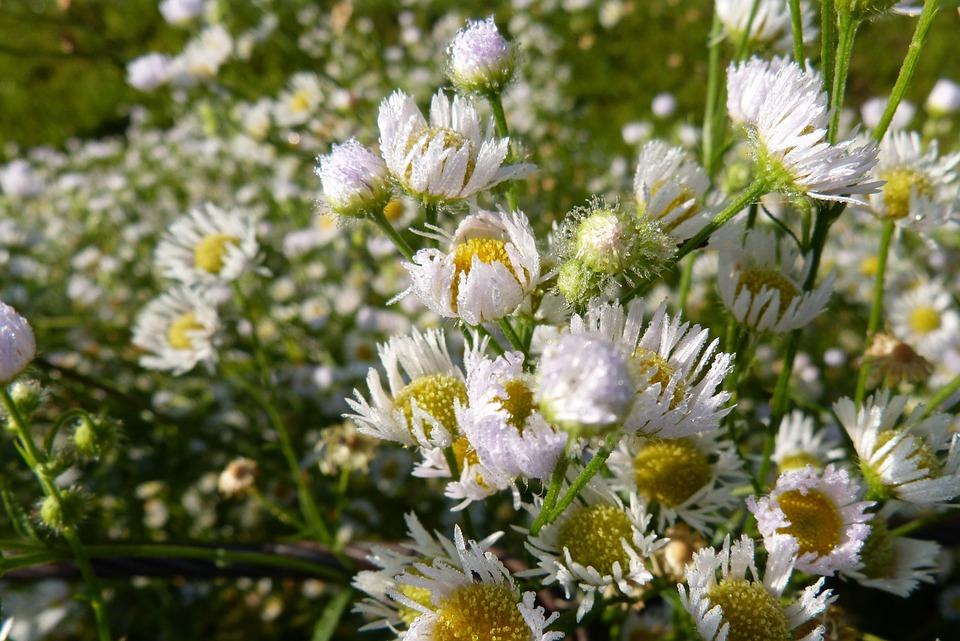 Fleabane, Dew, Dewdrop, Morgentau, Plant, Nature