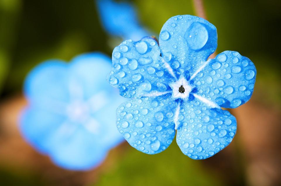 Blue Flower, Dew, Dewdrops, Water Droplets, Wet