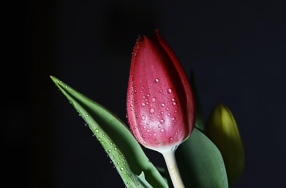 Tulip, Bud, Dew, Red Flower, Red Tulip, Dewdrops, Wet