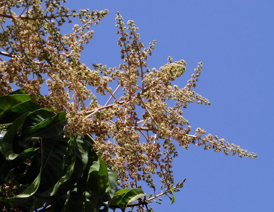 Flowers, Mango Blossoms, Mango Bloom, Dharwad, India