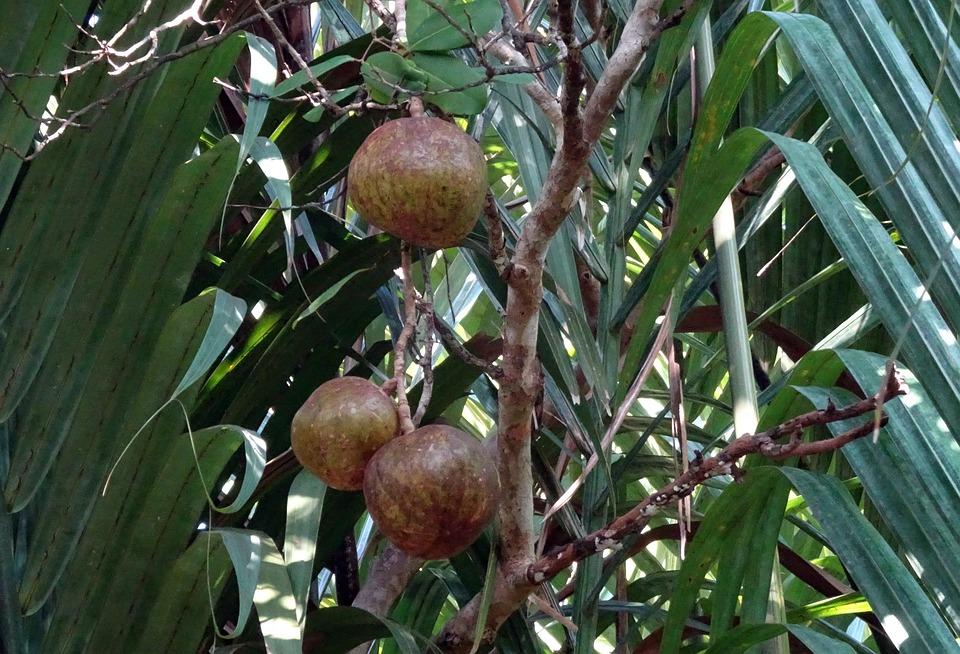 Fruit, Dhundhul, Dhundal Tree