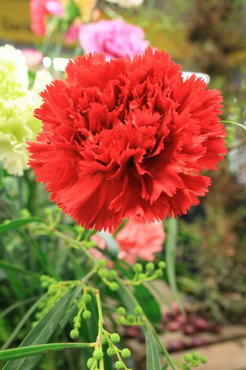 Carnation, Dianthus, Red, Flower