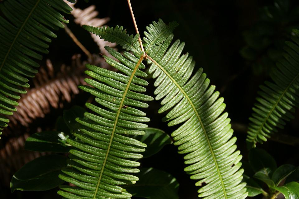 Dicranopteris Linearis, Old World Forked Fern, Uluhe