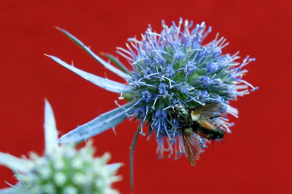 Blood Bee, Furrow Bee, Diestel, Macro, Prickly, Bee