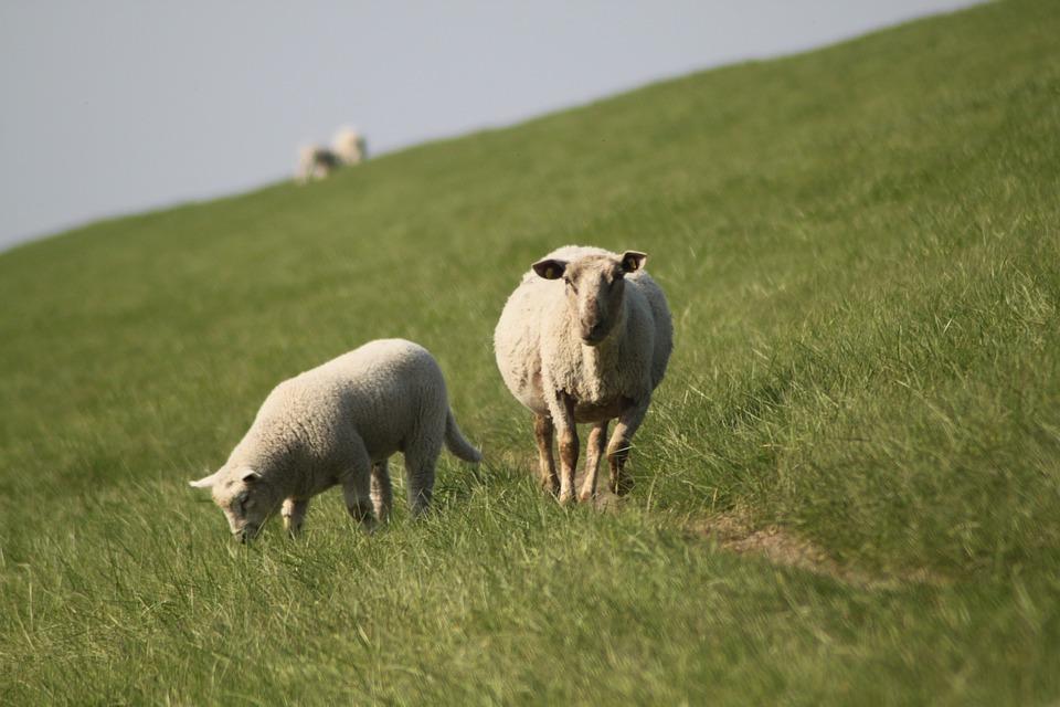Sheep, Dyke Lamb, Animal, Dike, Nordfriesland, Meadow