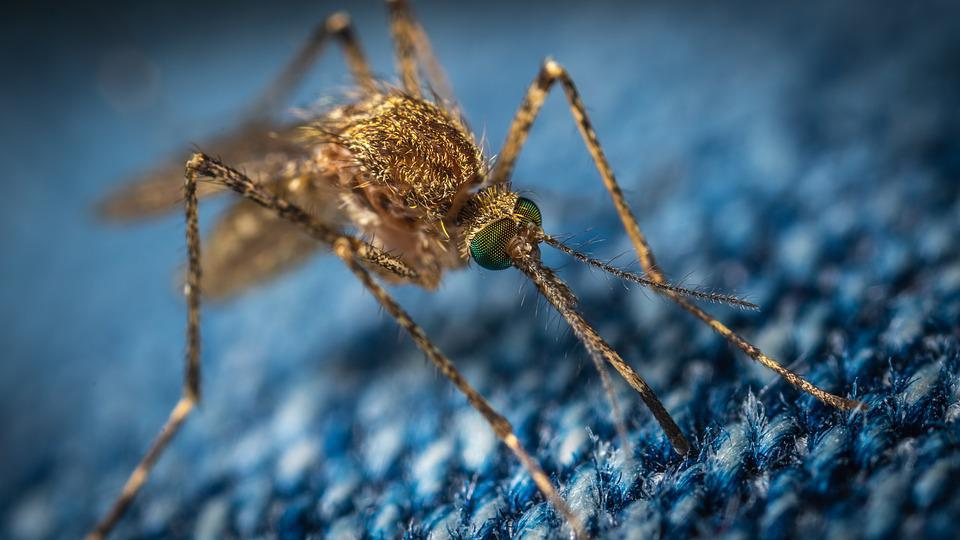 Mosquito, The Mosquito, Insect, Macro, Diptera, Jeans