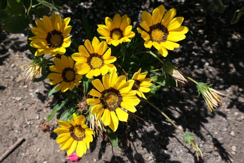 Daisies, Flowers, Blooms, Petals, Garden, Flora, Dirt
