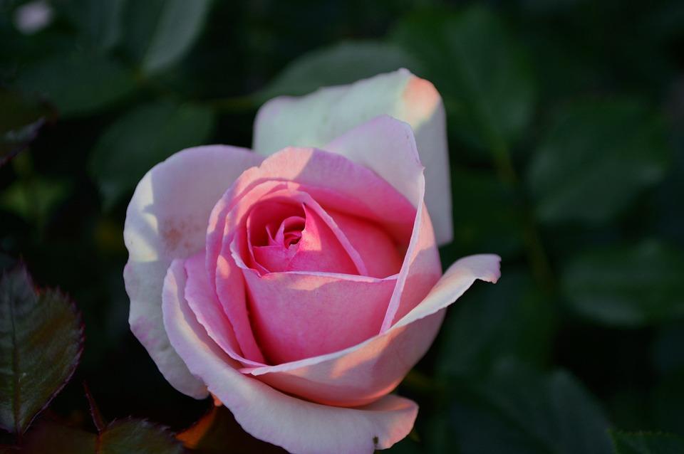 Rose, Sunset, Greens, Summer, Landscape, Nature, Dirt