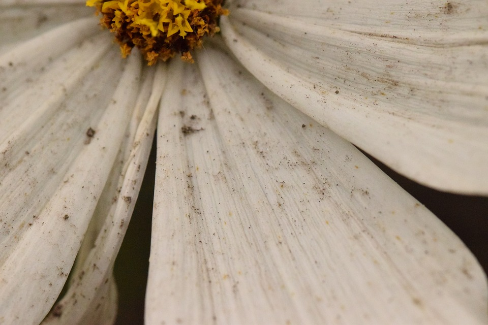 Dirty Flower, White, Flower, Marguerite, After The Rain