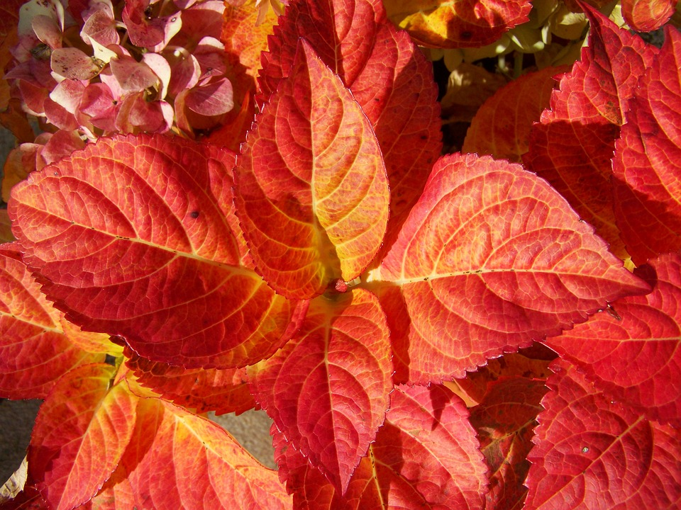 Discolored Hydrangea Leaves, Autumn, Red Leaves